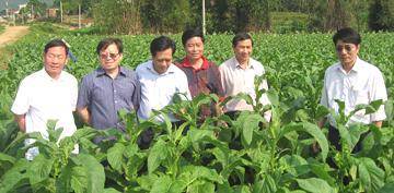 Ngành trồng, chế biến thuốc lá: Còn nhiều trăn trở