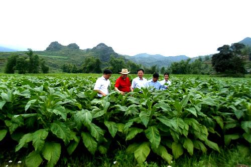 Đoàn công tác của Công ty Cổ phần Ngân Sơn thăm vùng nguyên liệu thuốc lá vụ xuân 2013