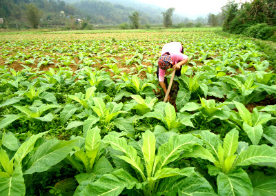 Ngân Sơn tập trung chăm sóc cây thuốc lá