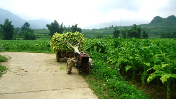 Ngân Sơn - Thu hoạch thuốc lá